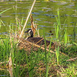 Goose on Nest by Marv Vandehey