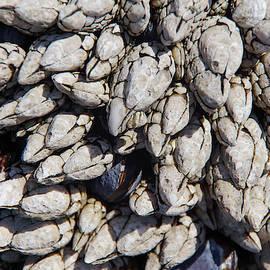 Gooseneck barnacles by Steve Estvanik