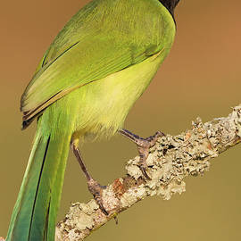 Gorgeous Green Jay by David Cutts