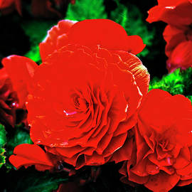 Gorgeous Roses by Doc Braham