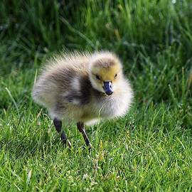 Gosling in the Grass by Dana Hardy