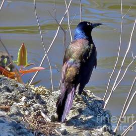 Grackle 25 by JudithAnne Monahan