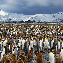 Thousands of King Penguins on South Georgia Island by Tom Schwabel