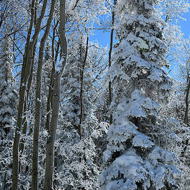 Grand Mesa Colorado Blue Spruce by Ray Mathis