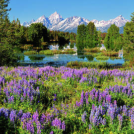 Grand Teton Lovely Lupines by Greg Norrell
