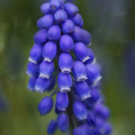 Grape Hyacinth by Isabela and Skender Cocoli