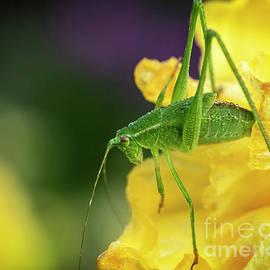 Grasshopper in Morning Dew 03 by KG Photography