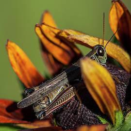Grasshopper On Rudbeckia by Robert Potts