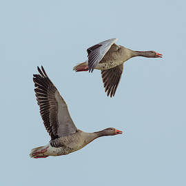 Toby Luxberg - Gray Geese Flight