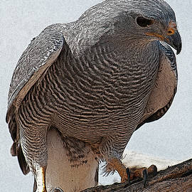 Gray Hawk on Perch by Ana Gonzalez