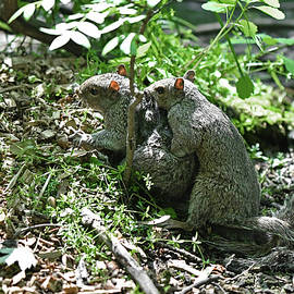 Gray Squirrels mating by Asbed Iskedjian