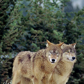 Gray Wolves In A Montana Winter  by Dave Welling