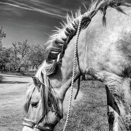 Grazing Norwegian Horse by Elisabeth Lucas