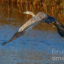 Great Blue Fly Away by Tom Claud
