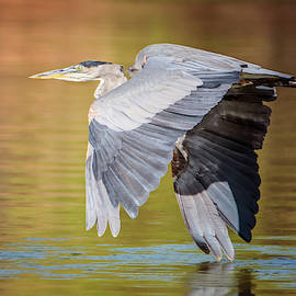 Great Blue Heron 2823-091418-1cr by Tam Ryan