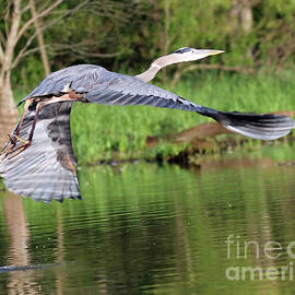 Great Blue Heron 58 by Steve Gass
