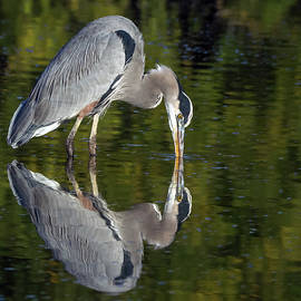 Great Blue Heron 9861-111418-1cr by Tam Ryan