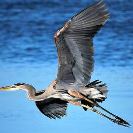 Great Blue Heron Airborne by Barbara Chichester