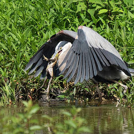 Great Blue Heron and frog by Jack Nevitt