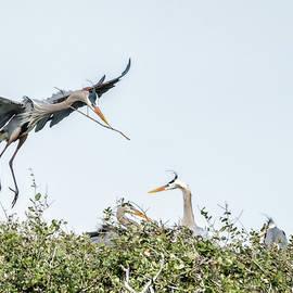 Great Blue Heron Brings Nest Material by Debra Martz