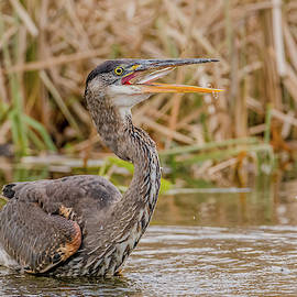 Morris Finkelstein - Great Blue Heron Fishing #4