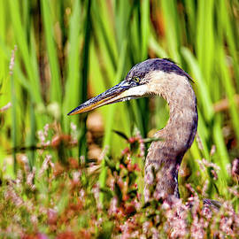 Great blue heron hidden in the weeds by Geraldine Scull