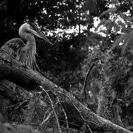 Great Blue Heron in a Tree 000 In Black And White  by Chris Mercer
