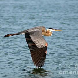 Great Blue Heron in Flight by Stephen Whalen
