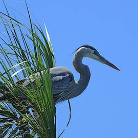 Great Blue Heron in Sabal Palm by Judy Wanamaker