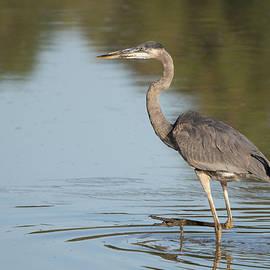 Great Blue Heron in Water by Jack Nevitt
