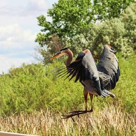 Great Blue Heron Landing On The Rail by Jennifer Gonzales
