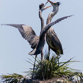 Dawn Currie - Great Blue Heron Mating Display II