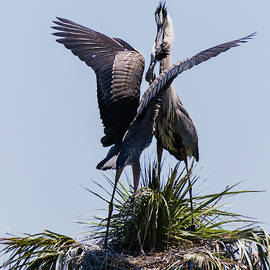 Dawn Currie - Great Blue Heron Mating Display III