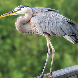 Great Blue Heron on the Deck by Judy Tomlinson
