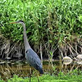 Great Blue Heron on the SHore by Maria Keady