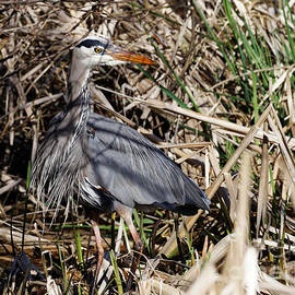 Great Blue Heron Out Of The Marshy Shadows by Sue Harper