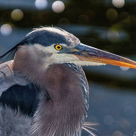 Great Blue Heron Profile by Christopher Holmes
