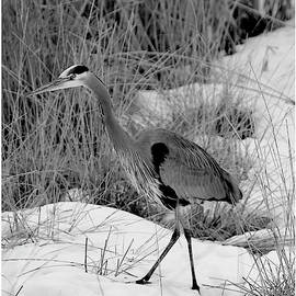 Randall Royter - Great Blue Heron