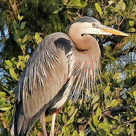 Great Blue Heron Repose by HH Photography of Florida