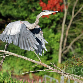 Great Blue Heron Takes Off by Steve Gass