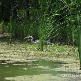 Great Blue Heron Watching and Waiting by Ruth Housley