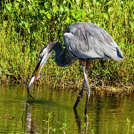 Great Blue Heron With Fish by Norman Johnson