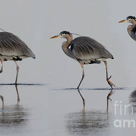Great Blue Heron On The Prowl by Bob Christopher