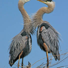 Great Blue Herons The Face Off by Larry Nieland