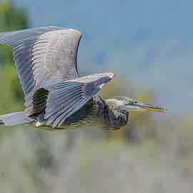 Great Blue In Autumn Flight by Morris Finkelstein
