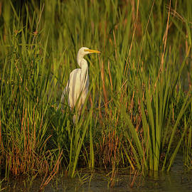 Great Egret 2019-2 by Thomas Young