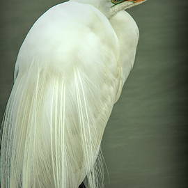 Great egret at Forsythe National wildlife refuge seriesq by Geraldine Scull