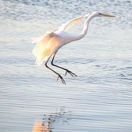 Great Egret in Flight by Mary Ann Artz