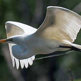 Great Egret in Flight by Steve Ferro