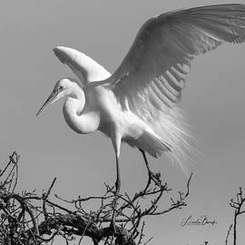 Great Egret Landing by Linda Burek